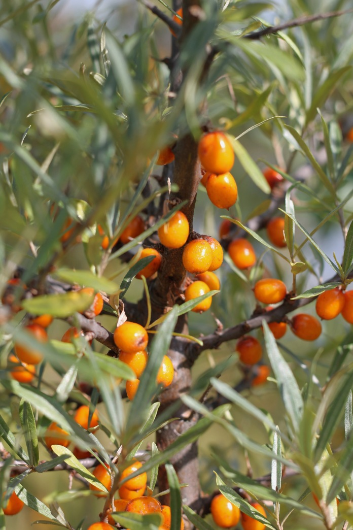 Sea Buckthorn1
