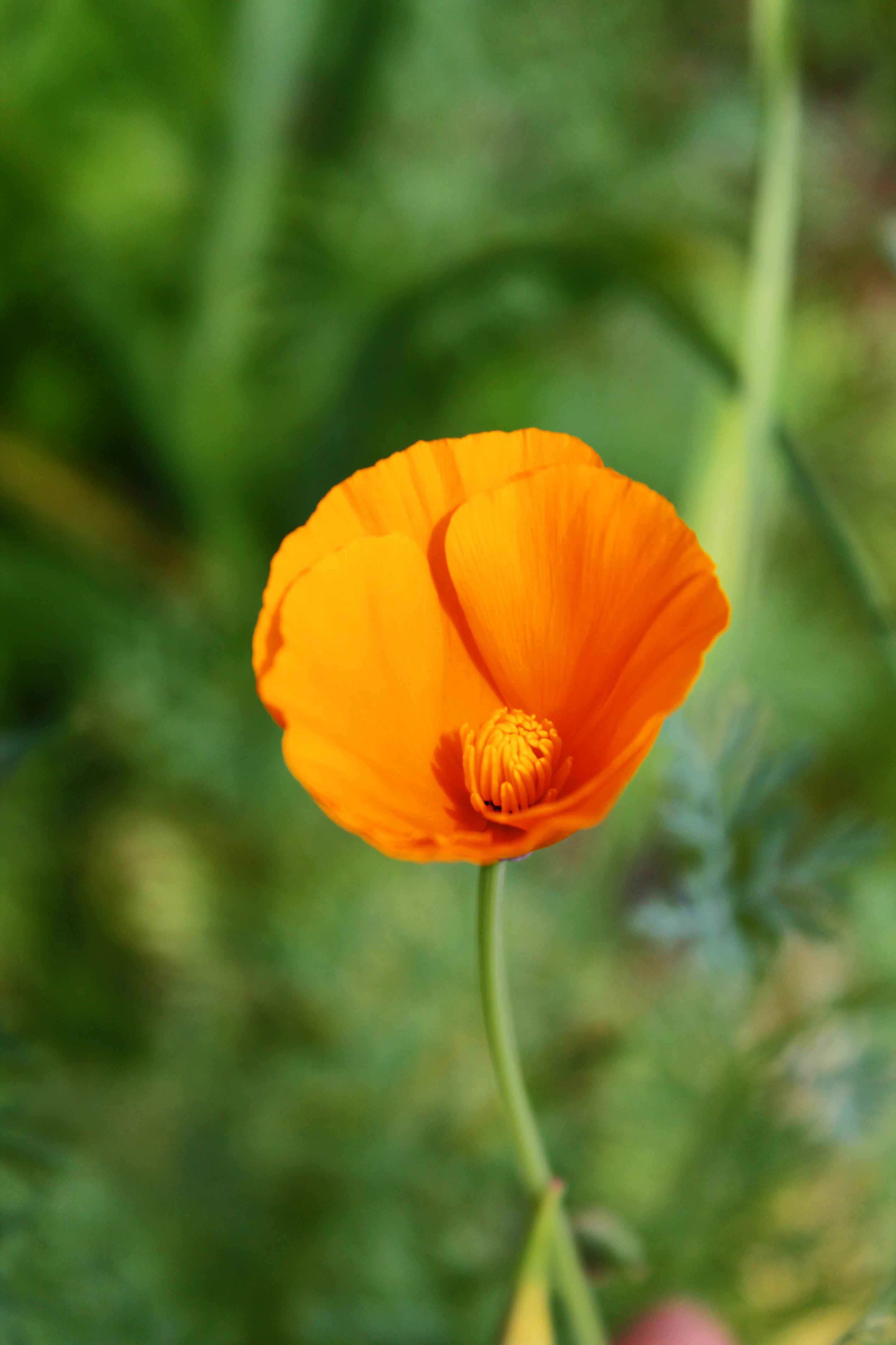 Califormia Poppy2