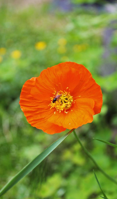 Siberian Poppy2